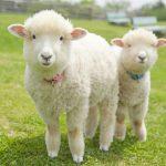 日本人は、羊を数えても眠れんらしい