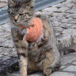 【鳥獣保護】猫の楽園(鞆の浦)でトラバサミの被害相次ぐ 男性「自宅敷地内での害獣駆除目的で、法律違反には当たらない」
