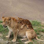 「なぜ、ナナが突然…」 ライオンが飼育員襲う 関係者に衝撃 長野