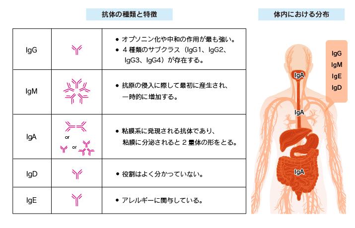 抗体の種類