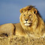千葉県ライオンかみつき 「動物園ではライオンを『洗う』ことはない」と他園 プロダクションの特殊性指摘の声も