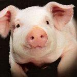 豚はチンパンジー並に高い知能があるから、食肉用動物としての扱いを考え直した方が良いらしい