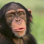 「あっ」「おっ」は、チンパンジー語らしい
