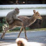 屋久島で鹿と交尾を試みる猿が確認されたらしい