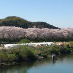 八幡の桜のトンネルに行ってきた