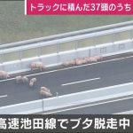 ブタ19頭が阪神高速を逃走 ブタ37頭を輸送中のトラックが追突事故